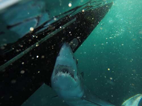 November rain charters montauk ny august 30 2014 for Montauk shark fishing